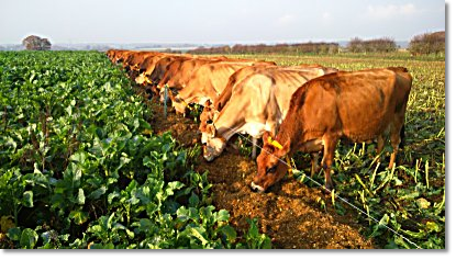 Image of Manor Farm Jersey cows happily grazing